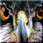 ワニ食い鷲