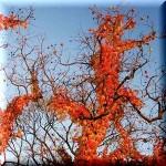 柿の木が呼んでいる
