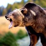 四つ爪の熊